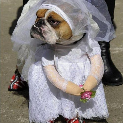 The-perfect-wedding-dress-for-your-dog-500x500 Funny Outfits for Dogs – 20 Most Funny Clothes for Dogs